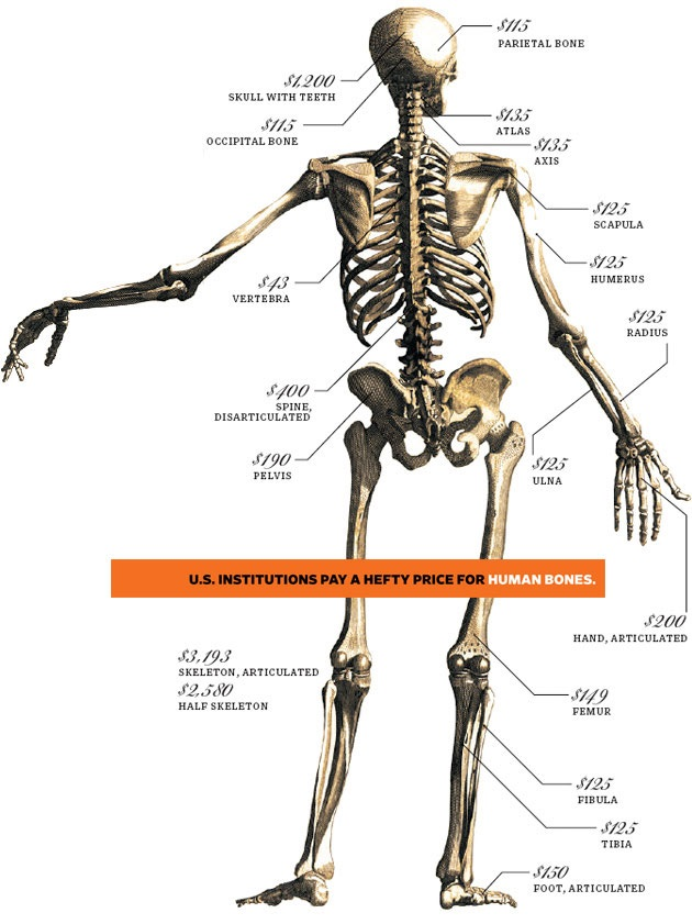 Human skeleton parts - rate fixed
